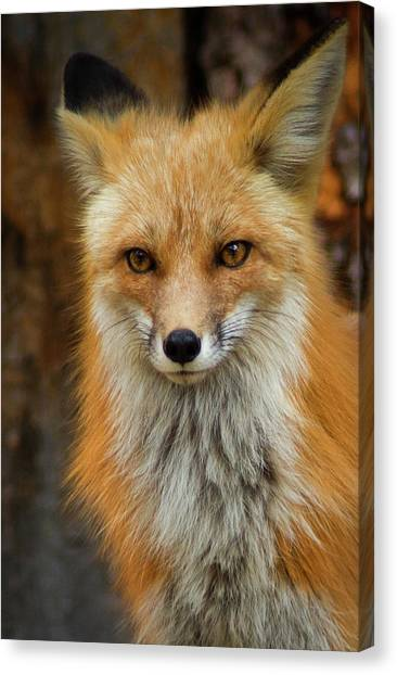 Red Fox Portrait Canvas Print
