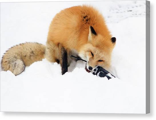 Red Fox To Base Canvas Print