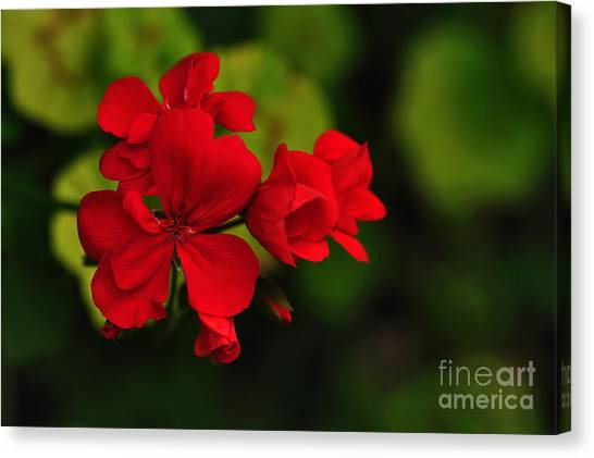 Red Geranium Canvas Print