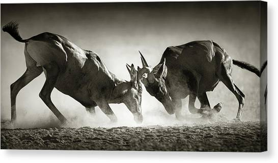 Fighting Canvas Print - Red Hartebeest Dual In Dust by Johan Swanepoel