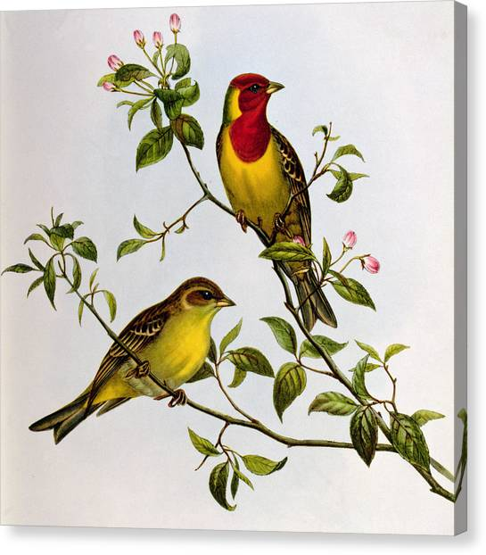 Buntings Canvas Print - Red Headed Bunting by John Gould