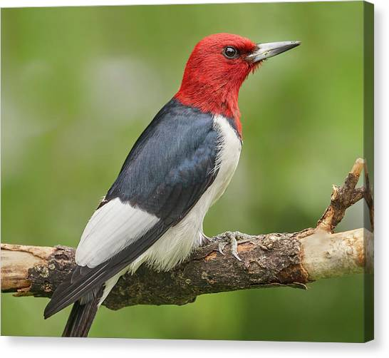 Woodpeckers Canvas Print - Red-headed Woodpecker by Jim Hughes