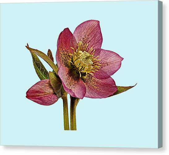 Canvas Print featuring the photograph Red Hellebore Blue Background by Paul Gulliver