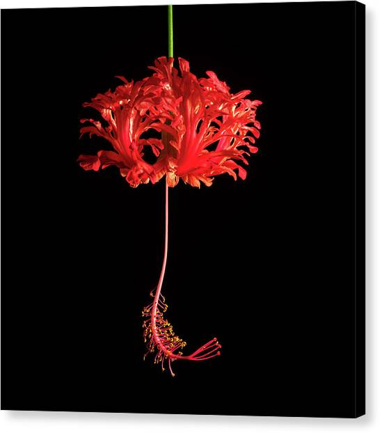 Hibiscus Canvas Print - Red Hibiscus Schizopetalus On Black by Christopher Johnson