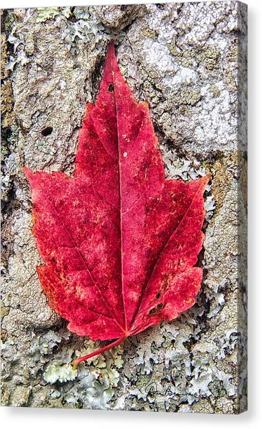 Red Leaf, Lichen 8797 Canvas Print