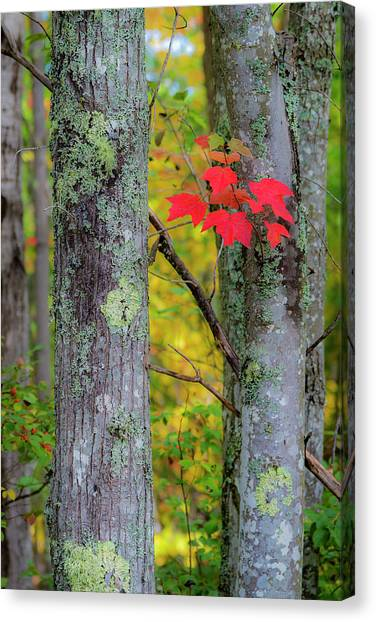Canvas Print featuring the photograph Red Leaves by Gary Lengyel