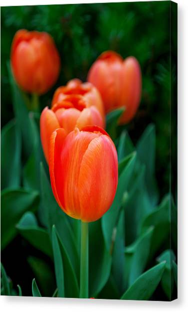 Birthday Gift Canvas Print - Red Tulips by Az Jackson
