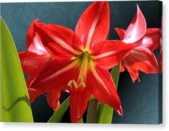 Red Lily Flower Trio Canvas Print