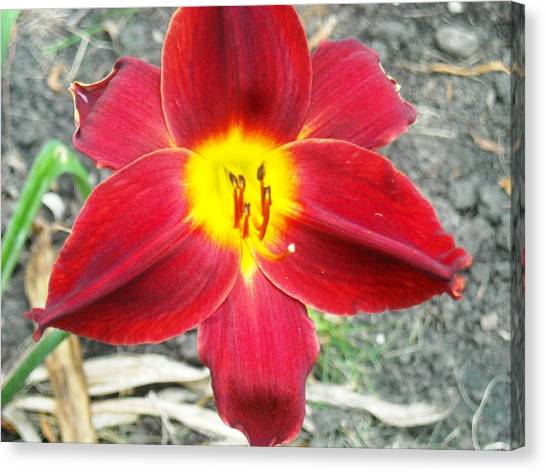 Red Lily Canvas Print by Ward Smith