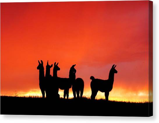 Red Llama Sunset 1 Canvas Print
