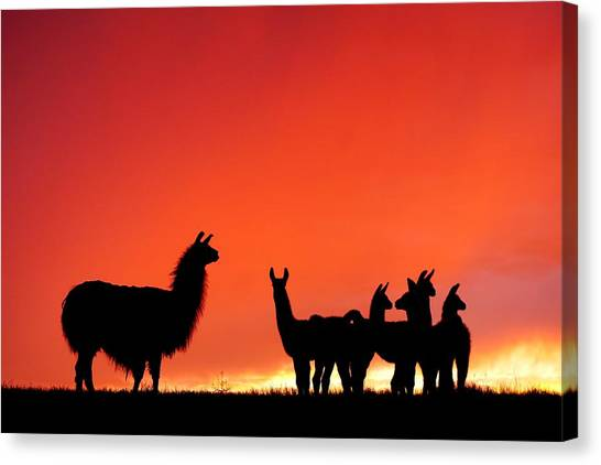 Red Llama Sunset 2 Canvas Print