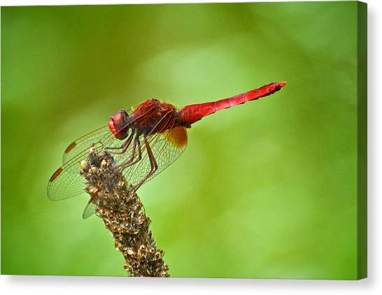 Red Male Dragonfly Crocothemis Erythraea Perching Canvas Print by Igor Voljch