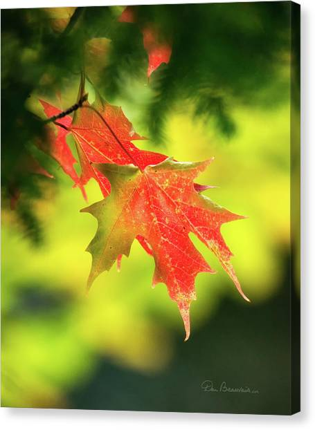 Red Maple Leaves 4983 Canvas Print