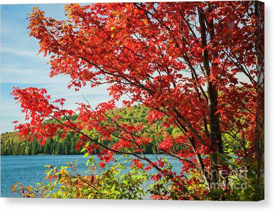 Algonquin Park Canvas Print - Red Maple On Lake Shore by Elena Elisseeva