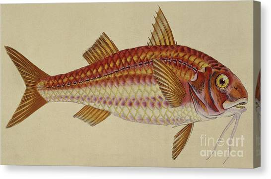 Angler Art Canvas Print - Red Mullet by English School
