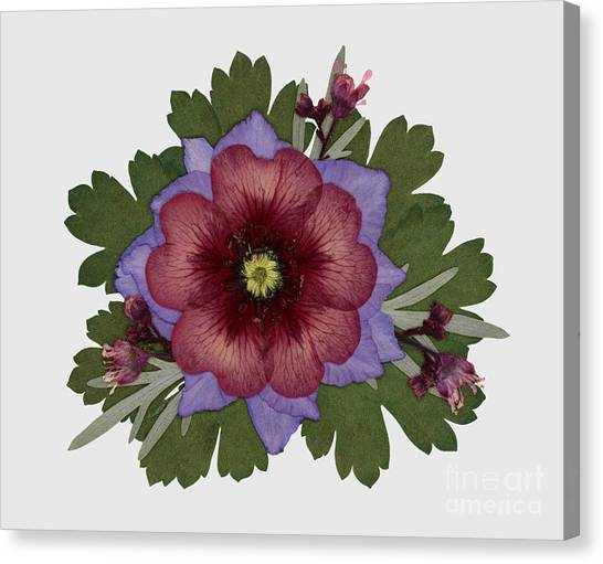 Red Open Faced Potentilla Pressed Flower Arrangement Canvas Print