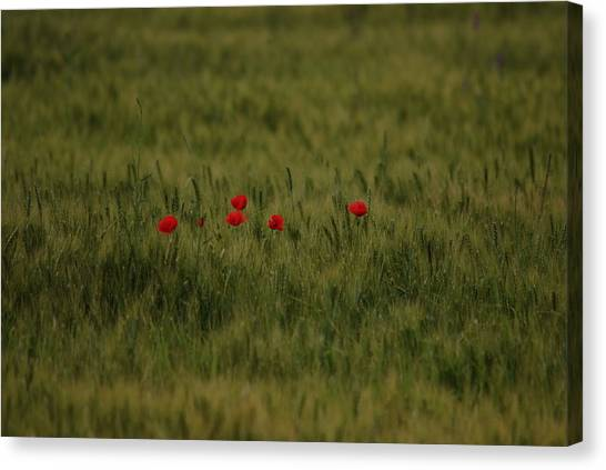 Red Poppies In Meadow Canvas Print