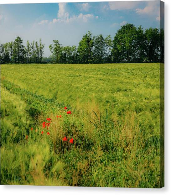 Red Poppies On A Green Wheat Field Canvas Print