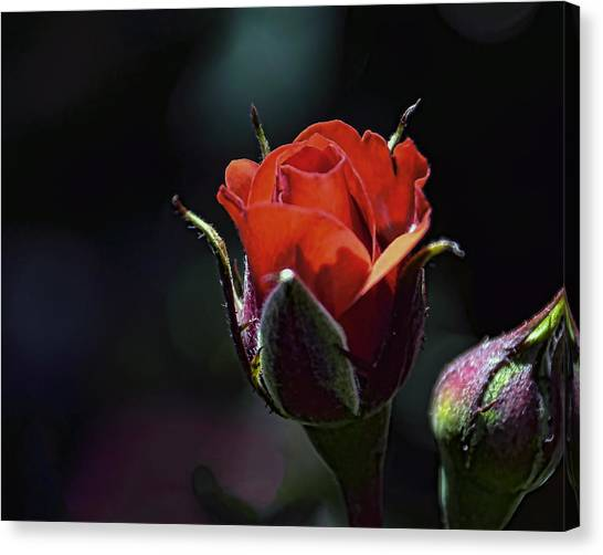 Canvas Print featuring the photograph Red Red Rose by William Havle
