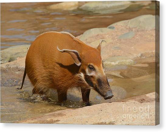 Red River Hog  Canvas Print