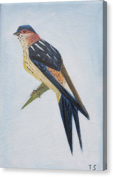 Red-rumped Swallow Canvas Print