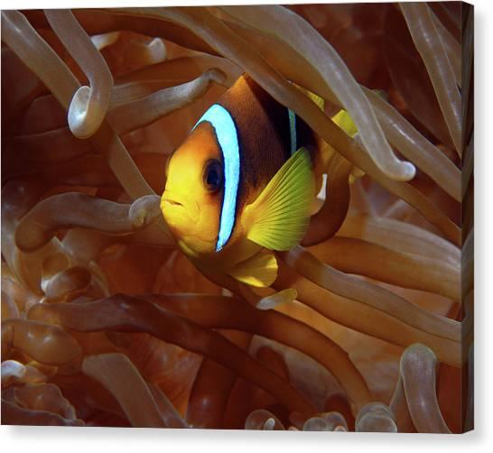 Red Sea Clownfish, Eilat, Israel 8 Canvas Print