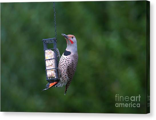 Northern Flicker Canvas Print - Red-shafted Northern Flicker On Suet by Sharon Talson