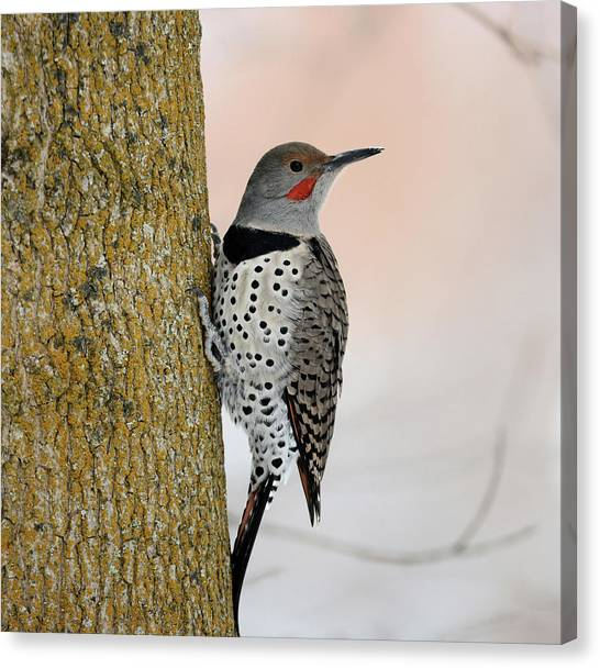 Northern Flicker Canvas Print - Red Shafted Northern Flicker by Whispering Peaks Photography