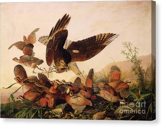 Shoulders Canvas Print - Red Shouldered Hawk Attacking Bobwhite Partridge by John James Audubon