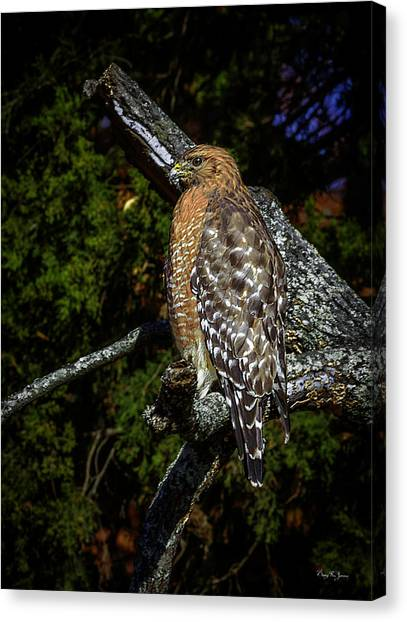 Red-shouldered Hawk Canvas Print by Barry Jones