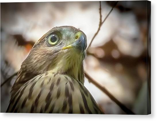 Red-shouldered Hawk Fledgling 3 Canvas Print