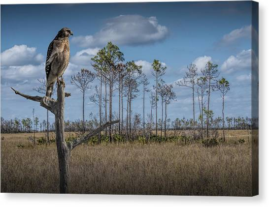 Red Shouldered Hawk In The Florida Everglades Canvas Print