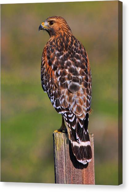 Red Shouldered Hawk Portrait Canvas Print