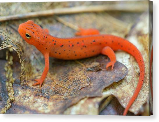 Newts Canvas Print - Red Spotted Newt  by Derek Thornton