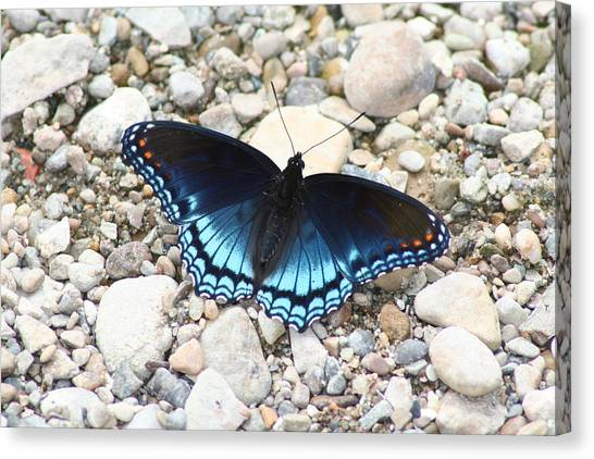 Red Spotted Purple Canvas Print by Jeff VanDyke