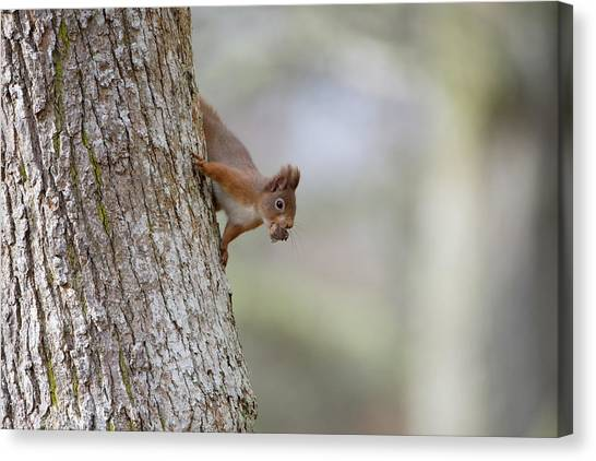 Red Squirrel Climbing Down A Tree Canvas Print