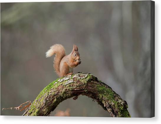 Red Squirrel Eating A Hazelnut Canvas Print