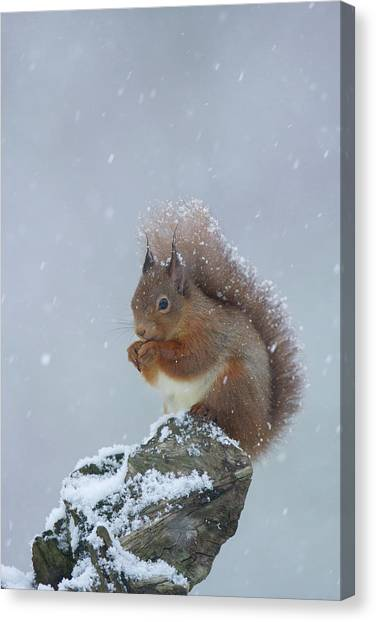 Red Squirrel In A Blizzard Canvas Print