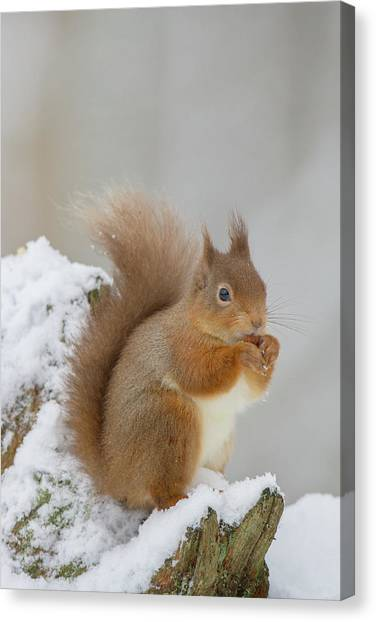 Red Squirrel In The Snow Side On Canvas Print