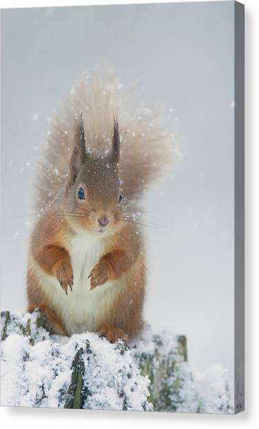 Red Squirrel In Winter Canvas Print