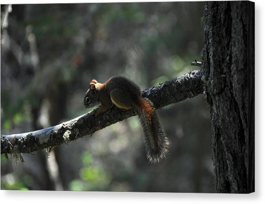 Red Squirrel Canvas Print by John Ricker