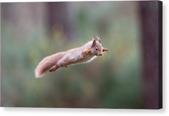 Red Squirrel Leaping Canvas Print
