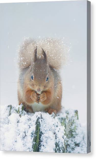 Red Squirrel Nibbles A Nut In The Snow Canvas Print