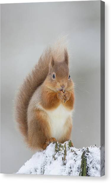 Red Squirrel Nibbling A Hazelnut In The Snow Canvas Print