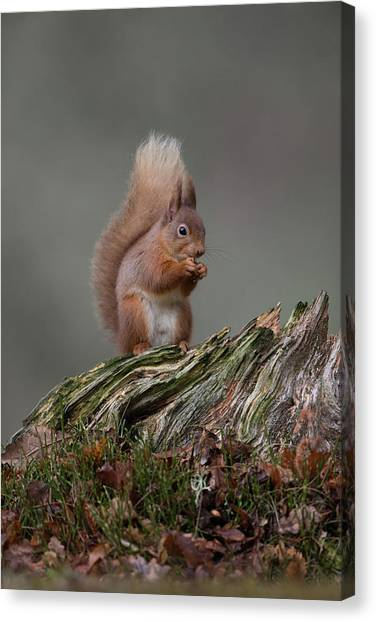 Red Squirrel Nibbling A Nut Canvas Print