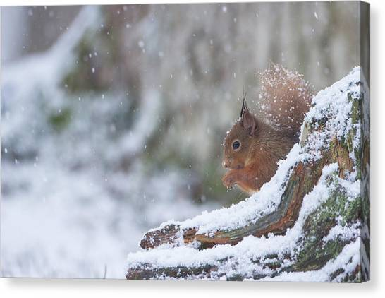 Red Squirrel On Snowy Stump Canvas Print