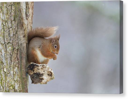 Red Squirrel On Tree Fungus Canvas Print
