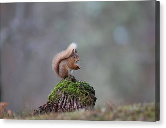 Red Squirrel Peeling A Hazelnut Canvas Print