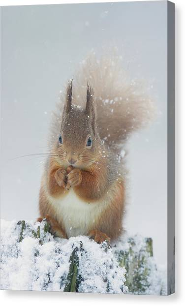 Red Squirrel With Snowflakes Canvas Print