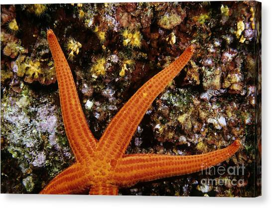 Red Starfish Clinging To A Rock Canvas Print by Sami Sarkis